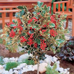 Holly 'Golden King' (Standard Tree)