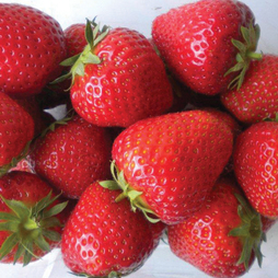 Strawberry 'Elsanta' (Mother Plants)