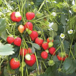 Strawberry 'Anais' (Everbearer/ All Season)