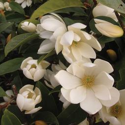 Magnolia 'Fairy Cream'