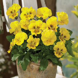 Pansy 'Tasty Collection' F1 Hybrid