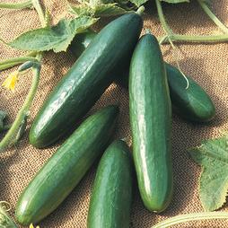 Cucumber 'Diva'