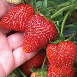 Strawberry 'Sweetheart'