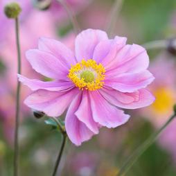 Anemone tomentosa 'Serenade'