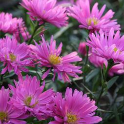 Aster novi-belgii 'Rosa Perle'