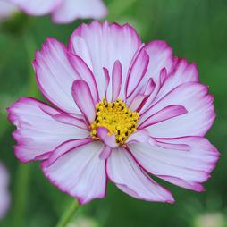 Cosmos bipinnatus 'Sweet Sixteen'