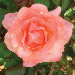 Rose 'Easy Elegance Sweet Fragrance' (Shrub Rose)