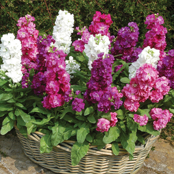 Stock 'Autumn Perfume Mixed' (Garden Ready)