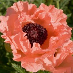 Poppy 'Victoria Louise'