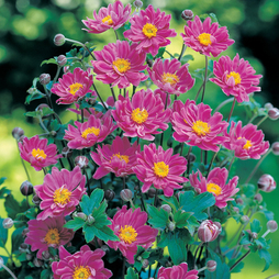 Anemone x hybrida 'September Charm'