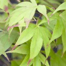 Acer palmatum 'Osakazuki Seedling'