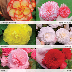 Begonia 'Majestic Mixed'