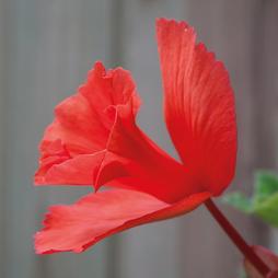 Begonia x tuberhybrida 'Daffadowndilly'