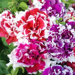 Petunia 'Orchid Picotee Mixed' F1 Hybrid (Garden Ready)