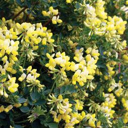 Coronilla glauca 'Citrina' (Large Plant)