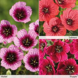 Geranium cinereum 'Jolly Jewel Collection'