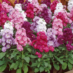 Stock 'Most Scented Mix' (Garden Ready)