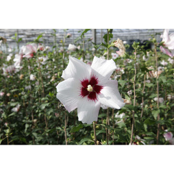 Hibiscus syriacus 'Shintaeyang'