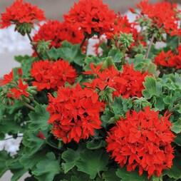 Geranium 'Quantum Red'