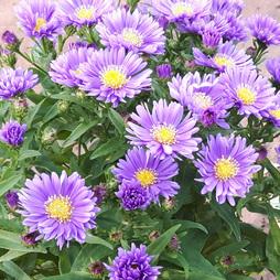 Aster 'Lavender'