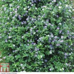 Bacopa 'Topia Series' (Garden Ready)