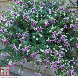 Fuchsia 'Trailing Mixed' (Pre-Planted Basket)