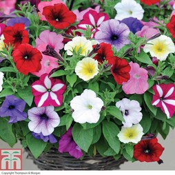 Petunia 'Easy Wave Ultimate Mixed' (Garden Ready)