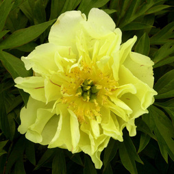 Peony 'Yellow Waterlilly' (Large Plant)