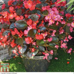 Begonia 'Whopper Mixed' (Pre-Planted Pot)