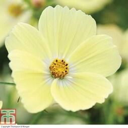 Cosmos bipinnatus 'Lemonade™' (Garden Ready)