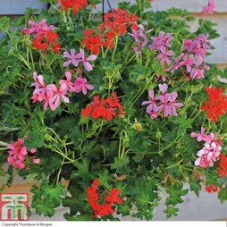 Geranium 'Supreme Mixed' (Pre-Planted Basket)