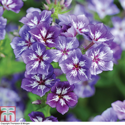 Phlox 'Sugar Stars Mixed'