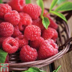 Raspberry 'Ruby Falls®' (Summer Fruiting)