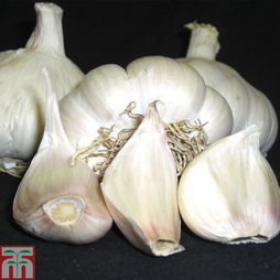 Garlic 'Picardy Wight' (Spring Planting)