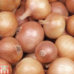 Onion 'Hercules' (Spring Planting)