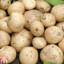Potato 'Swift'