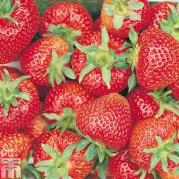 Strawberry 'Florence' (Late Season)