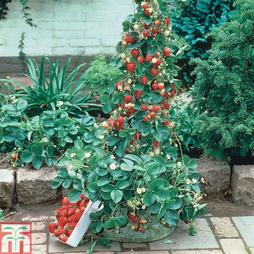 Strawberry 'Mount Everest' (Everbearer/ All Season)