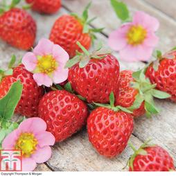 Strawberry 'Just Add Cream™'