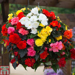 Begonia x tuberhybrida 'Non-Stop® Mixed' F1 Hybrid