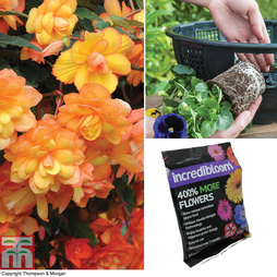 Begonia 'Apricot Shades' Complete Basket Collection