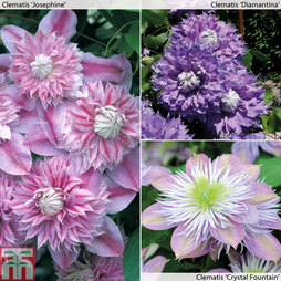 Clematis 'Crystal Collection'