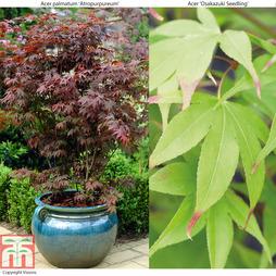 Acer palmatum Duo