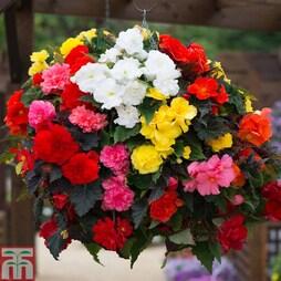 Begonia 'Non-Stop Mixed' (Garden Ready)