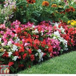 Begonia 'Organdy Mixed' F1 Hybrid (Garden Ready)