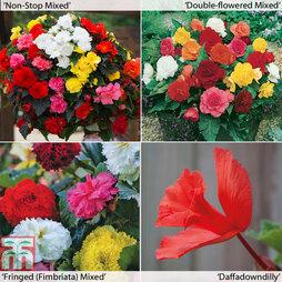Begonia x tuberhybrida Collection