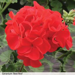Geranium 'Best Red' F1 Hybrid (Garden Ready)