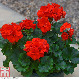 Geranium 'Grandeur Red' (Pre-Planted Pot)