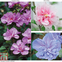 Hibiscus syriacus 'Chiffon' Collection