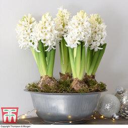 Hyacinth in Zinc Bowl - Gift